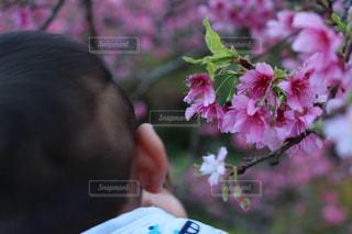 初めての桜の写真・画像素材[1818970]
