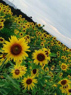 自然,風景,空,ひまわり,雲,黄色,向日葵,景観,ファーム