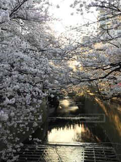 自然,桜,屋外,花見,満開,お花見,目黒川,サンセット