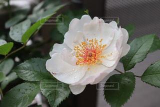 花,庭,植物,水滴,バラ,葉,ガーデニング,雫,グリーン,雨のあと,爽やかな朝,ジャクリーヌデュプレ
