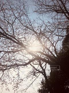 見上げ桜の写真・画像素材[1868589]