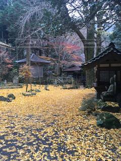 自然,風景,屋外,黄色,葉,景色,落ち葉,樹木,イチョウ,お寺,寺,思い出,カラー,色,草木,多彩