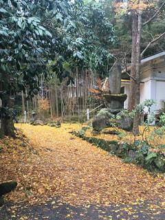自然,屋外,黄色,葉,景色,落ち葉,樹木,イチョウ,お寺,寺,思い出,カラー,色,草木