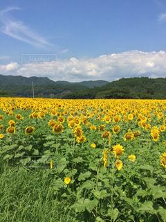 花,黄色,向日葵,幸せ