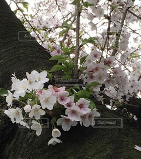 自然,春,桜,花見,さくら