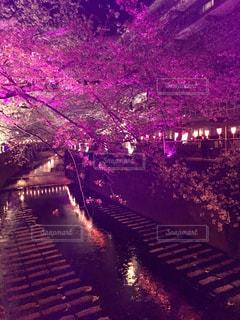 自然,春,桜,東京,花見,夜桜,目黒川,中目黒,さくら,桜祭