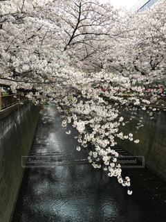 自然,春,桜,東京,花見,目黒川,中目黒,さくら,桜祭
