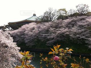 自然,春,桜,東京,花見,千鳥ヶ淵,さくら,武道館
