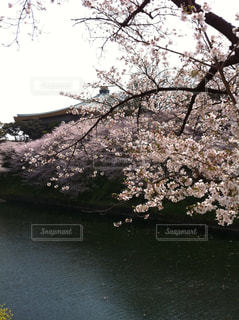 自然,春,桜,東京,花見,千鳥ヶ淵,さくら,武道館,桜祭