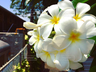 空,花,晴れ,ハワイ,プルメリア,アロハ