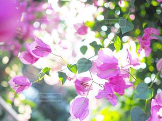 花,春,ピンク,ブーゲンビリア