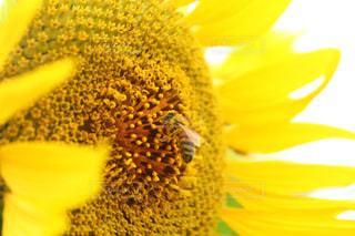 花,夏,ひまわり,黄色,向日葵,イエロー,黄,ハチ,ヒマワリ