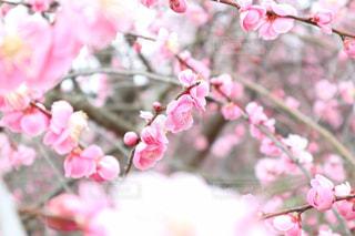 ピンクの花(梅の花)のアップの写真・画像素材[1820090]
