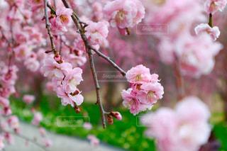 梅の木でぴんく色の世界の写真・画像素材[1820091]