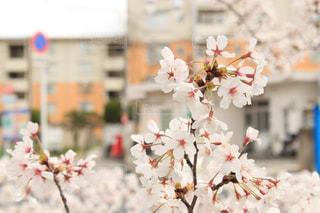 住宅街に咲く桜の写真・画像素材[1868196]