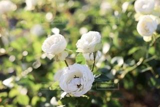 白いバラの花の写真・画像素材[2784044]