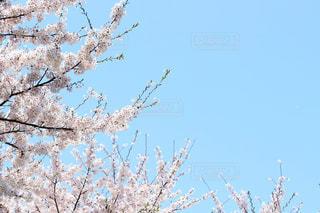 桜の咲く空の写真・画像素材[2994163]