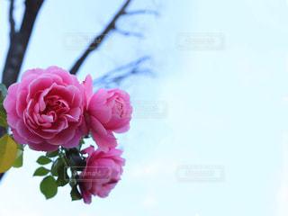 空に映えるピンクのバラの写真・画像素材[2994164]
