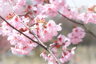 さくらの花の写真・画像素材[3082674]