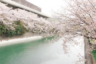 川沿いの桜の写真・画像素材[3082681]