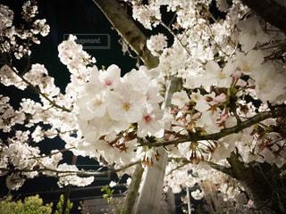 夜桜の写真・画像素材[3085392]