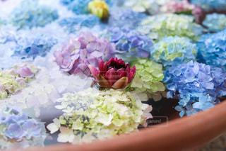 紫陽花の浮かぶ水面に蓮の花の写真・画像素材[3376149]
