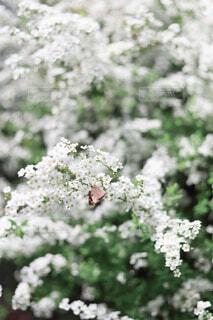 雪柳にとまる蝶々の写真・画像素材[4370769]