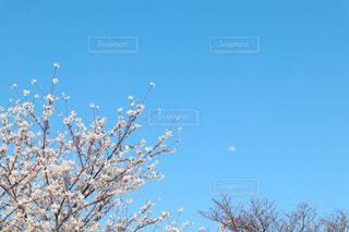 自然,風景,空,花,春,桜,木,屋外,青,青い空,樹木,月,コピースペース,草木,日中,余白,文字入れ