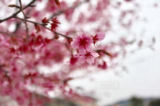 自然,春,ピンク,花見,お花見,草木,ブロッサム