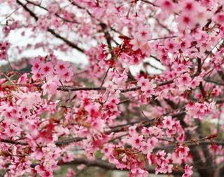 自然,春,ピンク,花見,お花見,ブロッサム