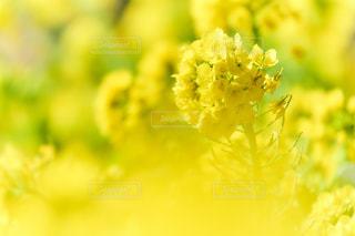 菜の花畑に包まれての写真・画像素材[1824620]