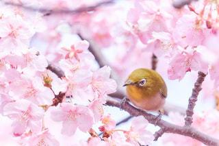 春が来た!メジロのお花見の写真・画像素材[1834134]