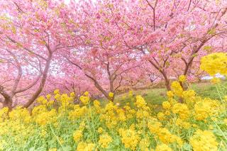 花,春,桜,花畑,植物,菜の花,花見,山,サクラ,お花見,Spring,なのはな,Sakura,さくら,はる