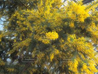花,植物,黄色,ビタミンカラー,温室,ミモザ,黄