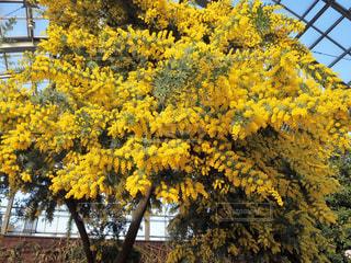 花,黄色,鮮やか,ビタミンカラー,温室,ミモザ,イエロー,黄