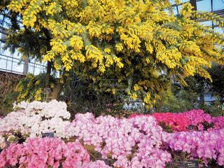 花,植物,カラフル,黄色,鮮やか,温室,ミモザ,イエロー,黄,多彩