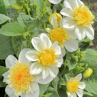 花,植物,黄色,イエロー,ダリア,優しい色