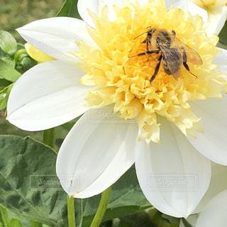 花,植物,黄色,黄色い花,イエロー,ダリア,ダリアと蜜蜂,優しい花