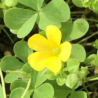 花,植物,黄色,黄色い花,ビタミンカラー,小さな花,カタバミ