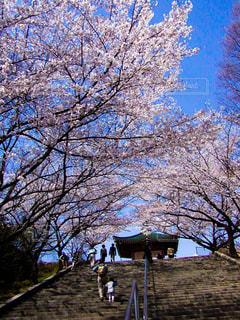公園の桜の写真・画像素材[1850061]
