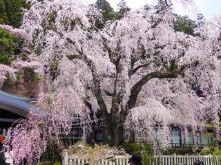 枝垂れ桜の写真・画像素材[1850187]