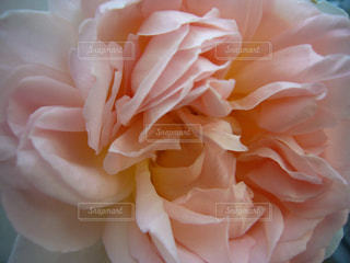 薔薇の写真・画像素材[1884760]