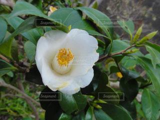 白い椿の写真・画像素材[1990146]