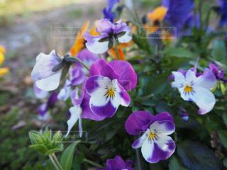 紫色の花のクローズアップの写真・画像素材[3059910]