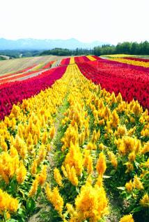 風景,花,花畑,黄色,北海道,旅行,美瑛,ケイトウ,四季彩の丘