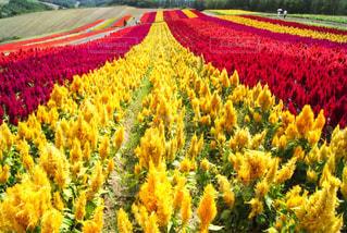 自然,空,花,黄色,北海道,観光,旅行,畑,景観,草木,美瑛,ケイトウ,フォトジェニック,四季彩の丘