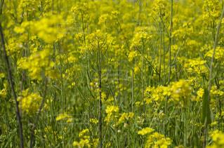 風景,花,植物,晴れ,黄色,菜の花,黄