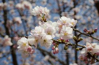 花,春,桜,屋外,ピンク,散歩,光,樹木,お花見,可憐,さくら