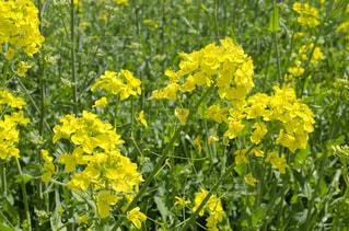 花,春,屋外,晴れ,散歩,黄色,菜の花,草,お花見