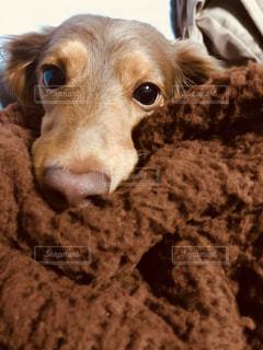 犬,茶色,ミルクティー色